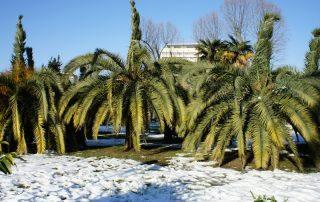 Palmbomen in de sneeuw
